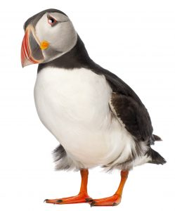 Puffins in the care sector